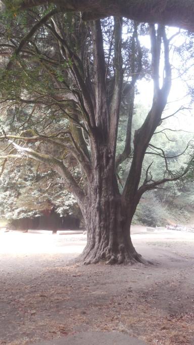 big old tree