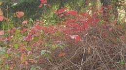 lovely poison oak