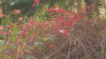 lovely poison oak