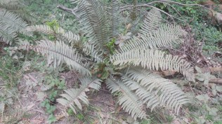 dusty fern
