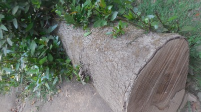 growing log