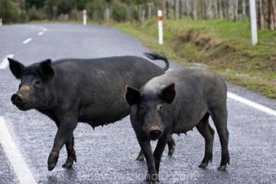 Wild Pigs, Forgotten World Highway, Taranaki, North Island, New Zealand