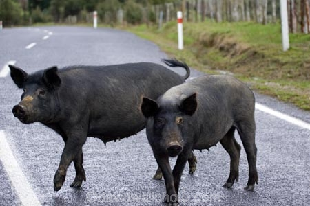 Wild Pigs, Forgotten World Highway, Taranaki, North Island, New Zealand