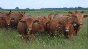 cows4