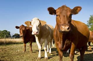 cows5