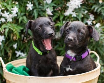 two-black-puppies-yawning