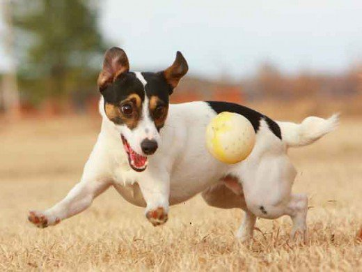 How to Teach your Puppy or Rescue to Play Ball