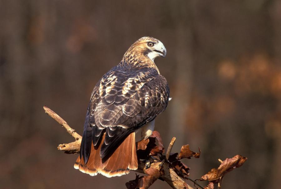 The Red-tailed Hawk and the ToddlerFence