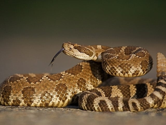 The Rattlesnake at Scout Camp