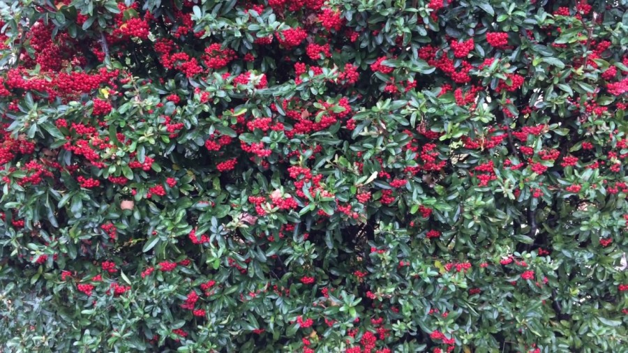 Pyracantha and the Path toSchool