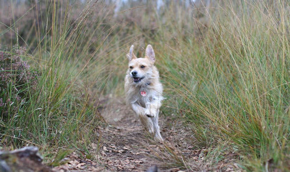Chihuahua Vs. Foxtail